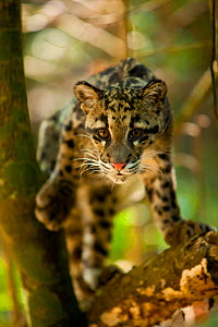 Clouded leopard (Neofelis nebulosa) portrait, Assam, India, captive.  -  Sandesh Kadur