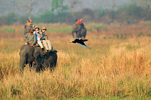 Bengal Florican (Houbaropsis bengalensis) taking off in front of a birdwatchers on domestic Asian Elephant (Elephas maximas), Kaziranga National Park, Assam. India. Critically endangered species. - Sandesh Kadur