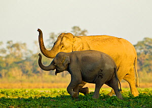 Asiatic elephants (Elephas maximus indicus) sniffing the air as they get close to a water body, Kaziranga National Park, Assam, India.  -  Sandesh  Kadur