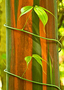 A vine growing on Eucalyptus bark, Tompotika Peninsula, Sulawesi, Indonesia.  -  Sandesh  Kadur