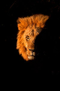 African Lion (Panthera leo) male emerging from bush, Masai Mara, Kenya  -  Andy Rouse