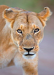 African Lioness (Panthera leo) portrait, with aggressive expression because of cubs nearby Maasai Mara, Kenya, Africa  -  Andy Rouse