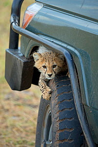 Cheetah (Acinonyx jubatus) cub playing on tyre, Maasai Mara, Kenya, Africa - Andy Rouse