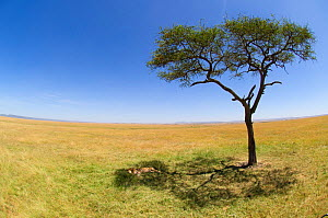 African Lion (Panthera leo) male sleeping in shade of  tree on plains, Maasai Mara, Kenya, Africa - Andy Rouse