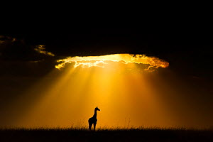 Maasai Giraffe (Giraffa camelopardalis tippelskirchi) silhouetted by beams of light from setting sun, Maasai Mara, Kenya, Africa. Winner of the African section of the Nature�s Best Windland Smith Rice...  -  Andy Rouse