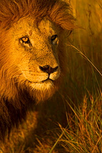 African Lion (Panthera leo) male 'Notch' portrait, Masai Mara, Kenya  -  Andy Rouse