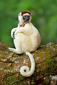 Verreaux Sifaka (Propithecus verreauxi) with prehensile tail curled round, Madagascar - Andy  Rouse