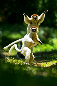 Verreaux Sifakas (Propithecus verreauxi) jumping ('dancing') across ground, Madagascar - Andy Rouse