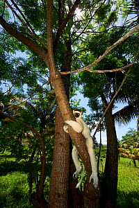 Verreaux Sifaka (Propithecus verreauxi) in forest, Madagascar - Andy Rouse