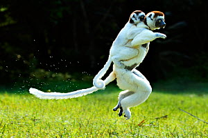Verreaux Sifaka (Propithecus verreauxi) jumping across ground with baby on its back, Madagascar  -  Andy  Rouse