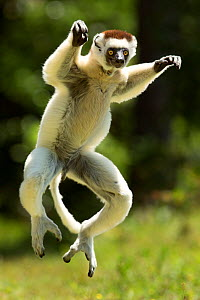 Verreaux Sifaka (Propithecus verreauxi) jumping ('dancing') across ground, Madagascar  -  Andy Rouse