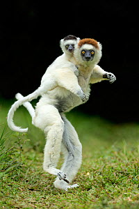 Verreaux Sifaka (Propithecus verreauxi) mother carrying baby.  Madagascar  -  Andy Rouse