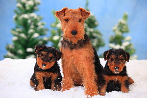 Welsh Terrier, bitch with puppies aged 8 weeks  in snowy scene.  -  Petra Wegner,Petra Wegner
