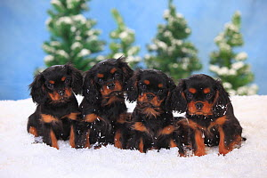 Cavalier King Charles Spaniel, puppies with black-and-tan colouration aged 3 months,  in snowy scene.  -  Petra Wegner