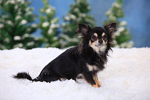 Chihuahua, longhaired with black-cream-white colouration in snowy scene. - Petra Wegner