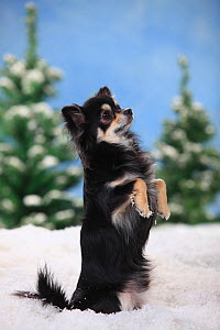 Chihuahua, longhaired with black-cream-white colouration, sitting on hind legs  in snowy scene. - Petra Wegner