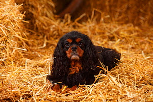 Cavalier King Charles Spaniel with black-and-tan colouration, in straw  -  Petra Wegner