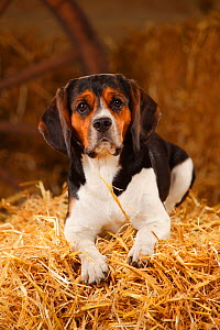 Beagle, bitch resting on hay bale in straw  -  Petra Wegner