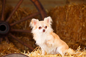 Chihuahua, longhaired, isabell in straw - Petra Wegner