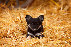 Chihuahua, longhaired, puppy in straw - Petra Wegner