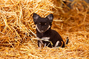Chihuahua, longhaired  puppy sitting on hay bale in straw - Petra Wegner