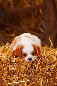 Cavalier King Charles Spaniel, puppy aged 7 weeks with blenheim colouration, resting on hay bale in straw  -  Petra Wegner