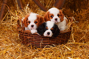 Cavalier King Charles Spaniel puppies aged 7 weeks with tricolour and blenheim colouration, in basket in straw  -  Petra Wegner,Petra Wegner