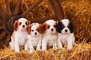 Cavalier King Charles Spaniel puppies aged 7 weeks, with tricolour and blenheim colouration, on hay bale in straw  -  Petra Wegner,Petra Wegner