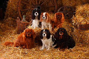 Cavalier King Charles Spaniels with all four of the coat patterns for this breed, ruby, tricolour, blenheim and black-and-tan. Sitting in straw  -  Petra Wegner