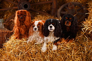 Cavalier King Charles Spaniels with all four of the coat patterns for this breed, ruby, blenheim, tricolour, and black-and-tan. Sitting on hay bale in straw.  -  Petra Wegner