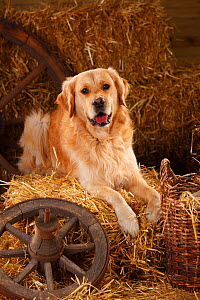 Golden Retriever, male in straw  -  Petra Wegner,Petra Wegner