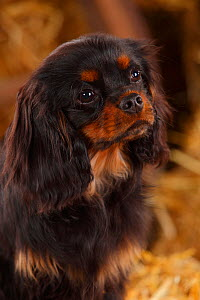 Cavalier King Charles Spaniel male, with black-and-tan, aged 6 months, in straw  -  Petra Wegner