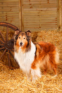 Rough Collie, bitch aged 10 years old in straw - Petra Wegner