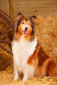 Rough Collie, bitch aged 10 years in straw - Petra Wegner