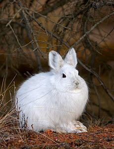 Snowshoe Hare (Lepus americanus) in its winter pelage before snow covers the ground, Alaska, USA - Visuals Unlimited