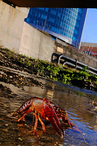 Louisiana / Red Swamp Crayfish (Procambarus clarkii) invasive species from USA, Italy  -  Visuals Unlimited