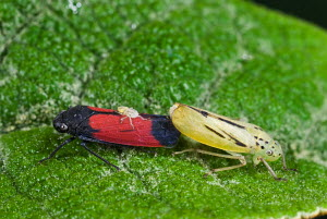 Leafhoppers (Cicadellidae) mating, while a small leafhopper crawls on the back of the male. Male and female of this species are dimorphic. Upland rainforest near Archidona, Ecuador - Visuals Unlimited