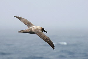 Light-mantled Sooty Albatross (Phoebetria palpebrata) flying over Drake Passage, Argentina  -  Enrique Lopez-Tapia