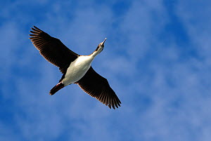 Antarctic cormorant (Phalacrocorax bransfieldensis) flying over Drake Passage, Antarctica.  -  Enrique Lopez-Tapia