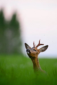 Roe deer buck (Capreolus capreolus) in field sniffing air, Southern Estonia, May - Sven Zacek,Sven  Zacek