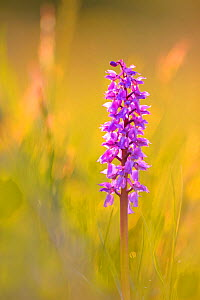 Early purple orchid (Orchis mascula) in low light, Northern Estonia, May. - Sven Zacek