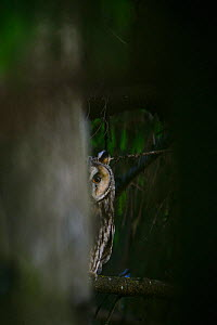 Female Long-eared owl (Asio otus) peeking from behind a spruce tree, Southern Estonia, June. - Sven  Zacek