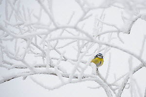 Blue tit (Parus caeruleus) perched on a frosty tree, Southern Estonia, January. - Sven  Zacek