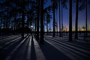 Long shadows from a setting moon over pine (Pinus sylvestris) trees growing in bog, with faint Aurora Borealis, Southern Estonia , January.  -  Sven Zacek