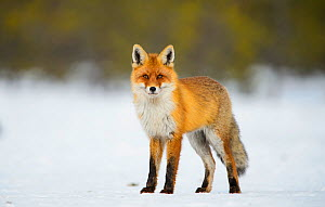Red fox (Vulpes vulpes)  stanidng in snowy clearing in bog, Southern Estonia, February. - Sven  Zacek