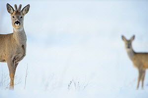 Two Roe deer (Capreolus capreolus) on a snowy field, Southern Estonia, March. - Sven Zacek,Sven  Zacek