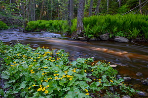 Marsh marigold (Caltha palustris) in bloom at the edge of a forest river, Northern Estonia, May.  -  Sven Zacek