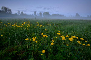 Low lying mist after sunset with Globe flowers (Trollius europaeus) Southern Estonia, May.  -  Sven Zacek