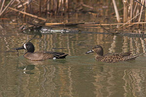Blue Winged Teal (Anas discors) male and female on water, Costa Rica  -  Visuals Unlimited