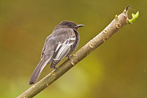 Black Phoebe (Sayornis nigricans) perched on a branch in the Tandayapa Valley of Ecuador.  -  Visuals Unlimited